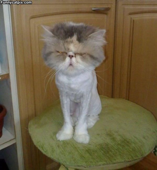 All Shaved Cat