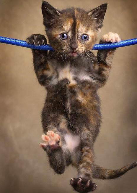 Cat doing Pullups