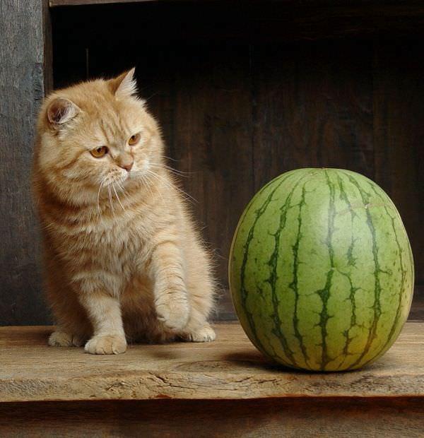 Cat Vs Watermelon