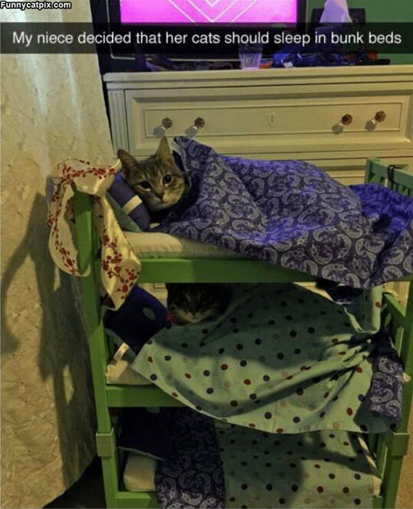 Cats Sleeping In Bunk Beds