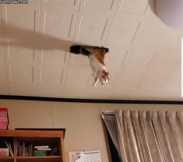 Ceiling Cat Jumps