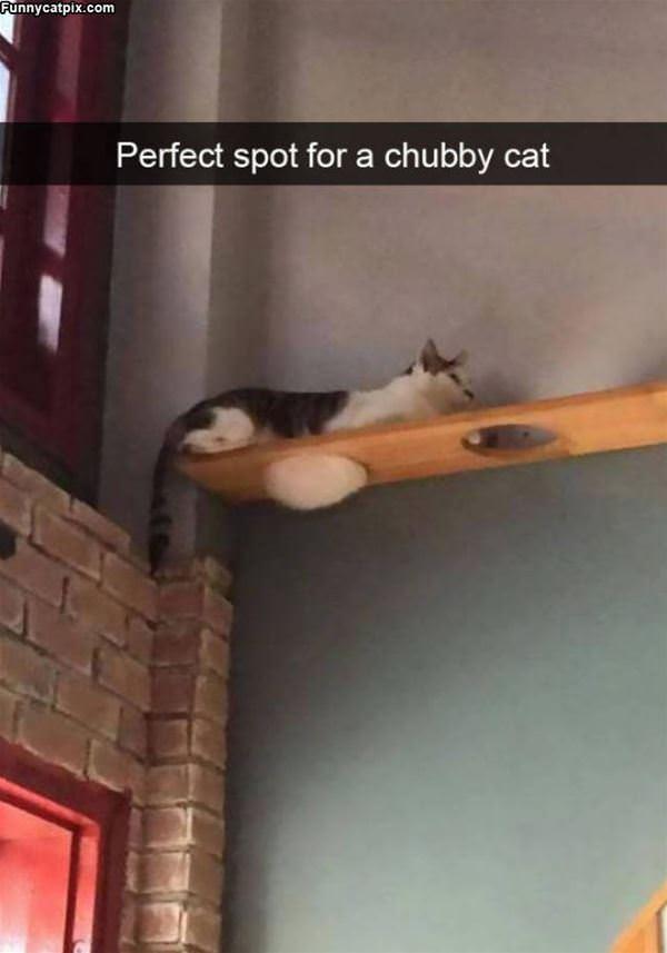 Chubby Cat Spot
