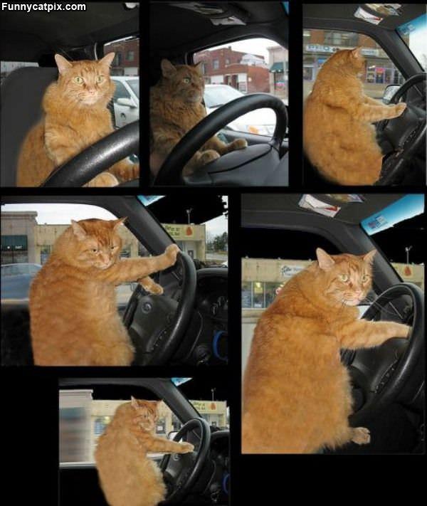 Driver Cat