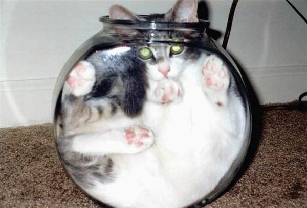 http://www.funnycatpix.com/_pics/Fish-bowl-cat.jpg