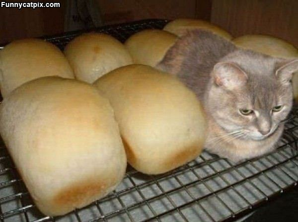 Fresh Bread Cat