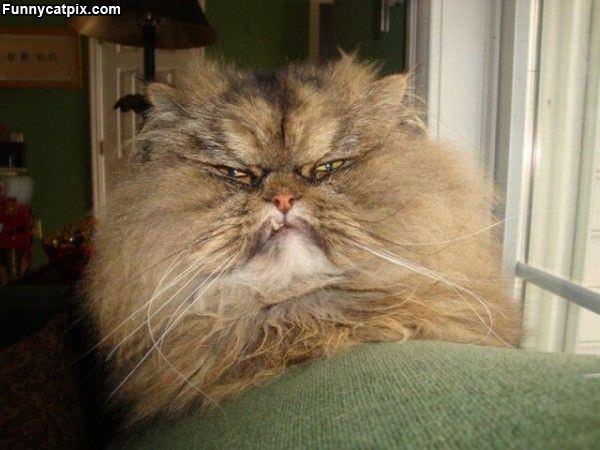 Fuzzy Mad Cat