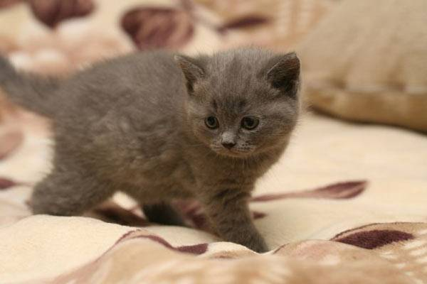 Grey kitten picture.