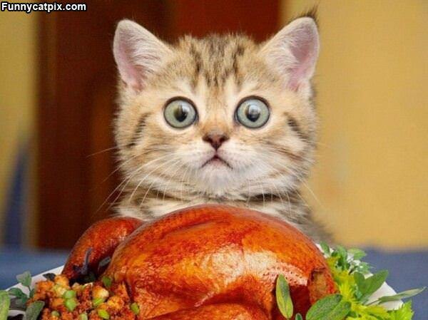 Hipnotic Cat