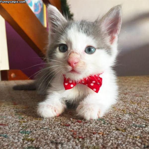 I Am A Cute Bow Tie Wearing Kitty