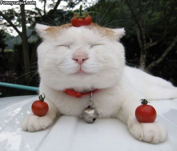 I Am Tomato Cat