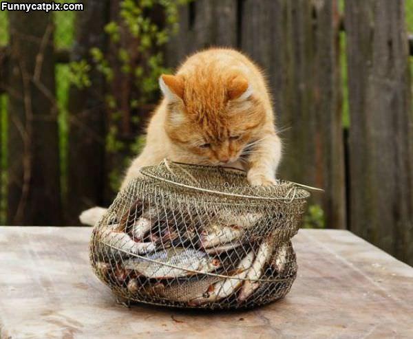 I Wants Fishy