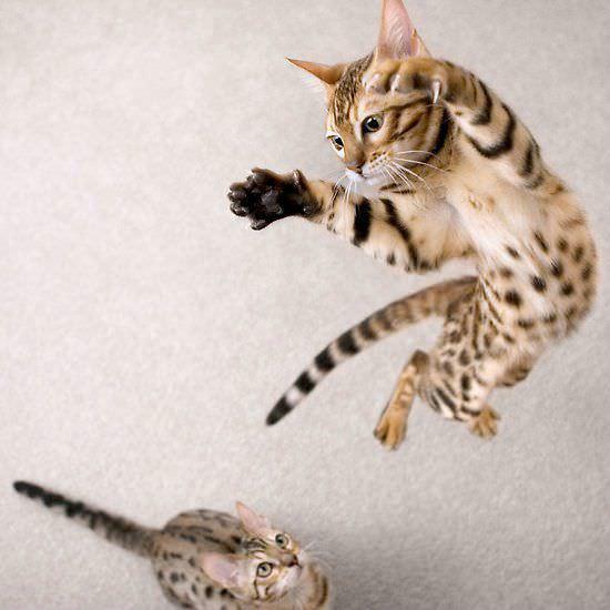 Jumper Cat