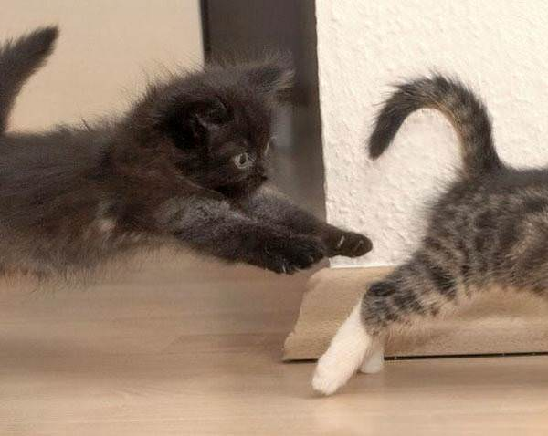 Kitten on the attack picture.