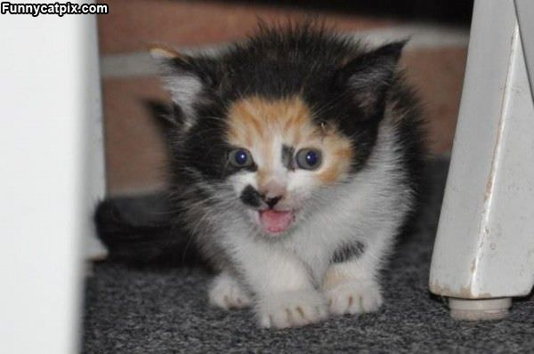 Kitten Meow Face