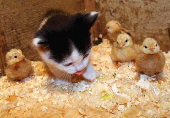 Kitten with duckies