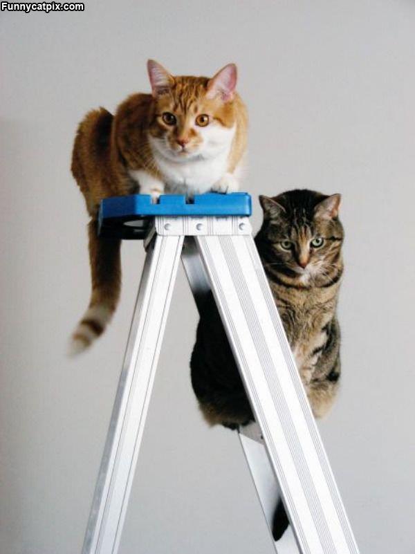 Ladder Cats