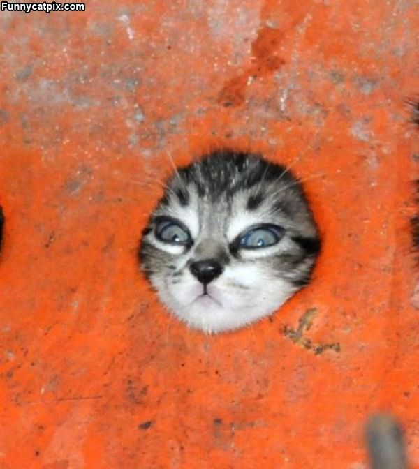 Let Me Out Of Here Kitten