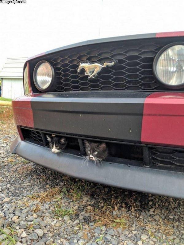 Mustang Cats