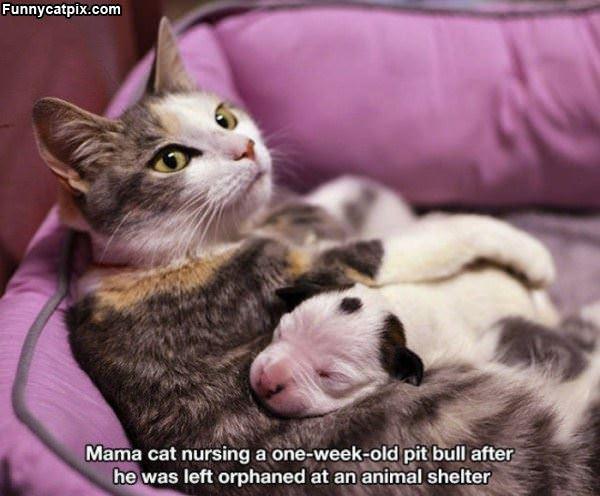 Nursing The Pit Bull