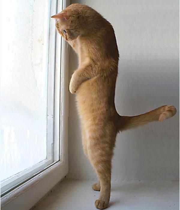 Orange cat standing picture.