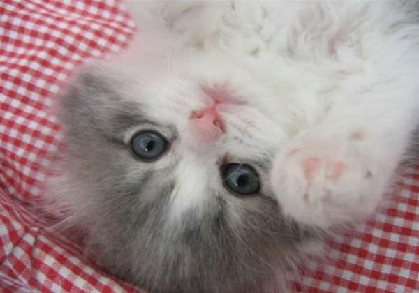 Peakaboo Cat