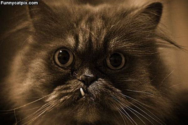 Pirate Tooth Cat
