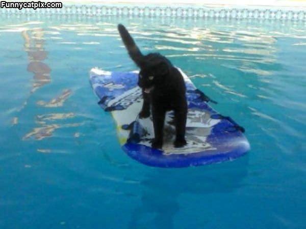 Pool Surfing Cat