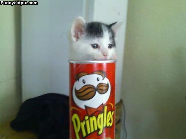 Pringles Kitten