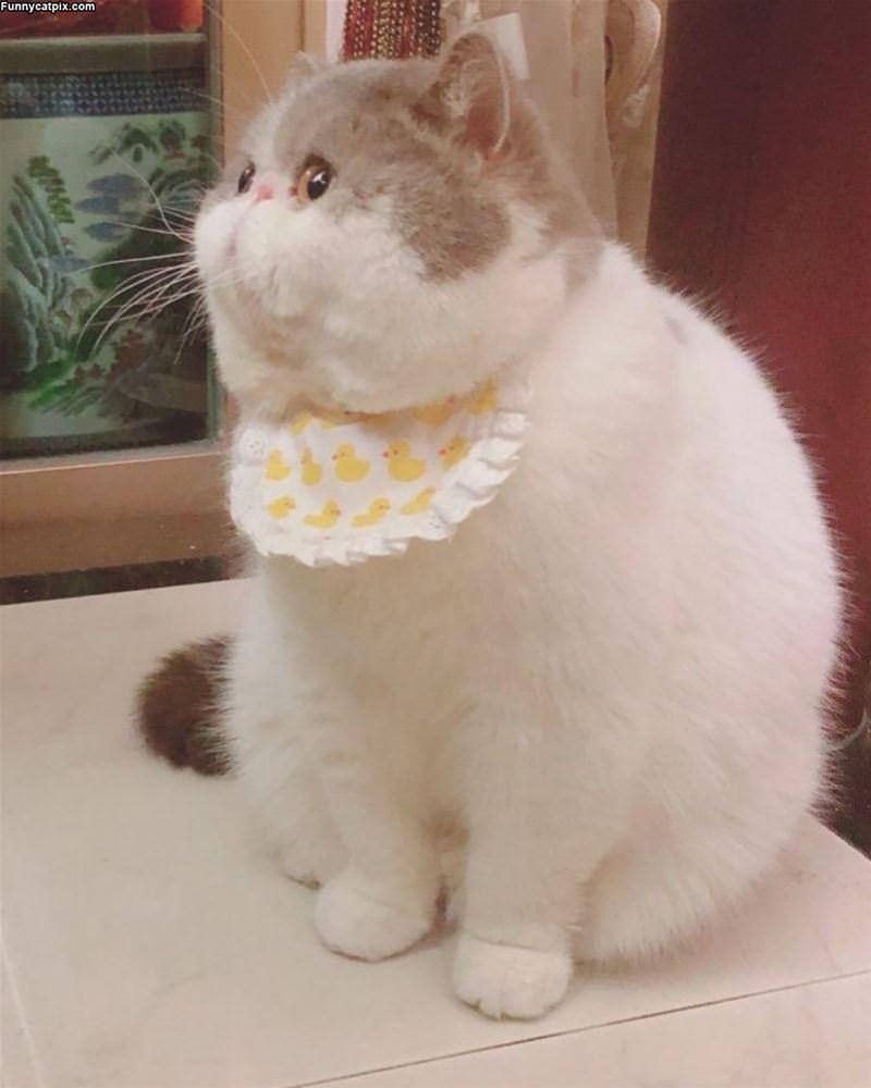 Puffer Cat