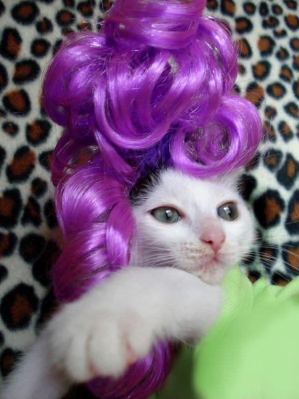 http://www.funnycatpix.com/_pics/Purple_Wig.jpg