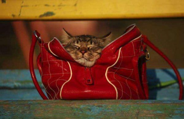 Purse Cat