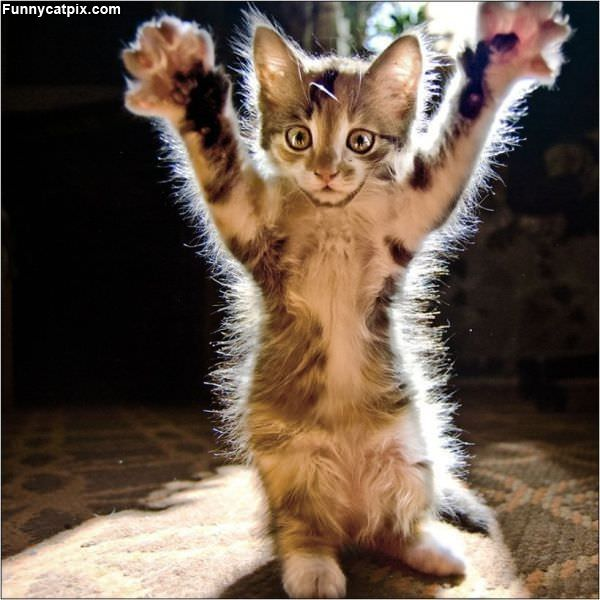 Rawrrr Kitten