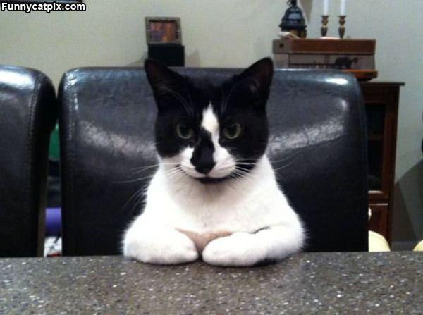 Serious Meeting Cat