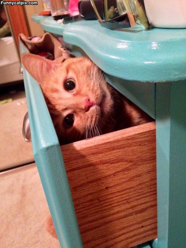 Shelf Cat