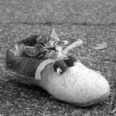 Shoe Kitten