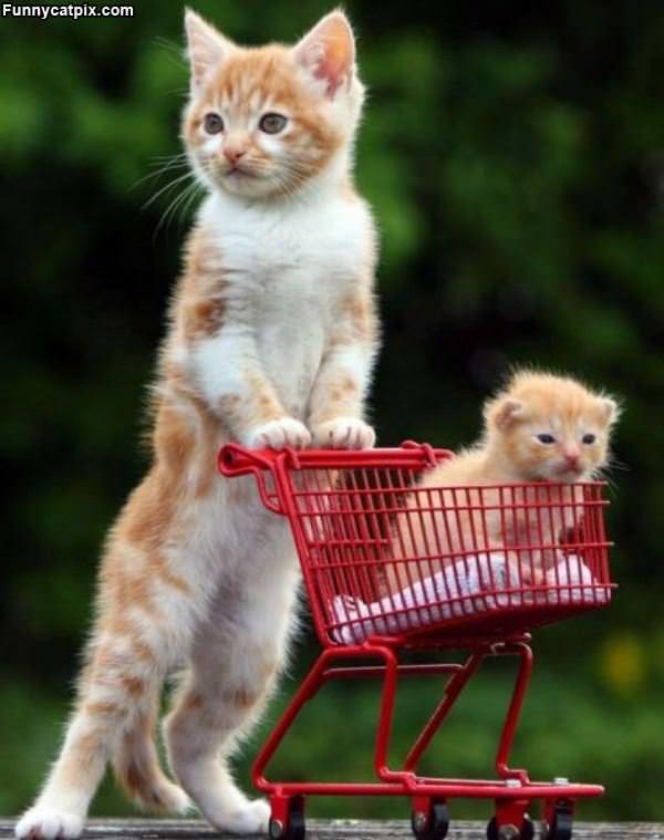 Shopping For Kittens