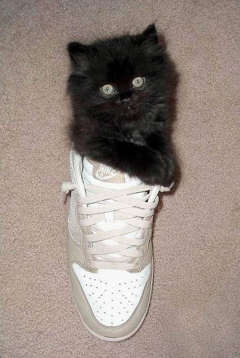 Sneaker cat
