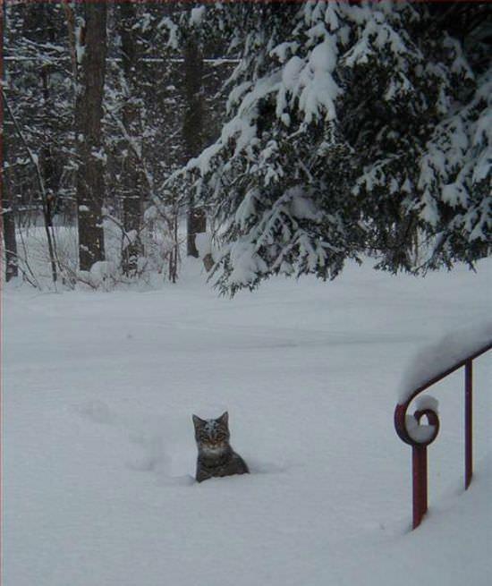 http://www.funnycatpix.com/_pics/Snow_Cat.jpg