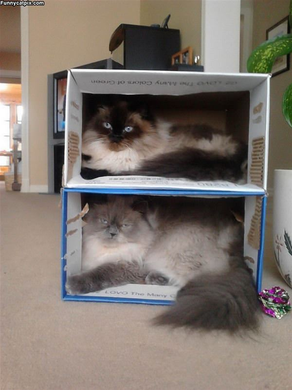 Stacking Boxes Of Cats