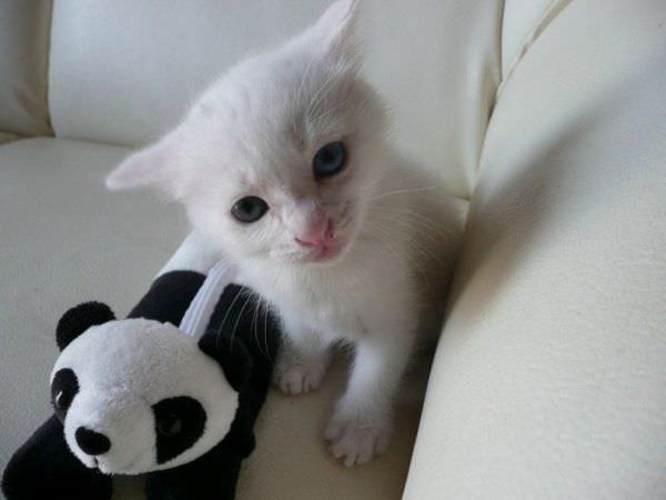Super Cute White Cat