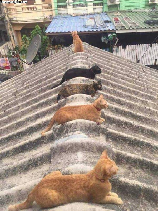 The Cat Roof