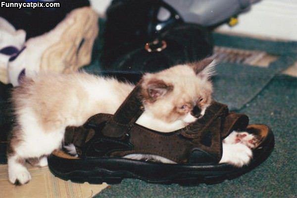 The Kitten Sandle