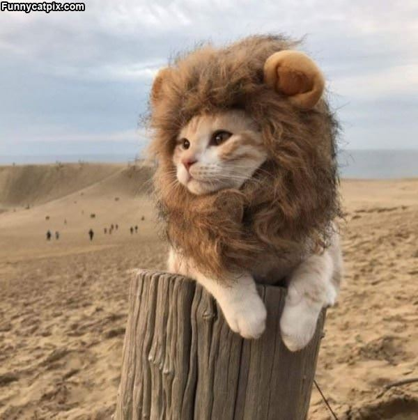 The Lion Cat
