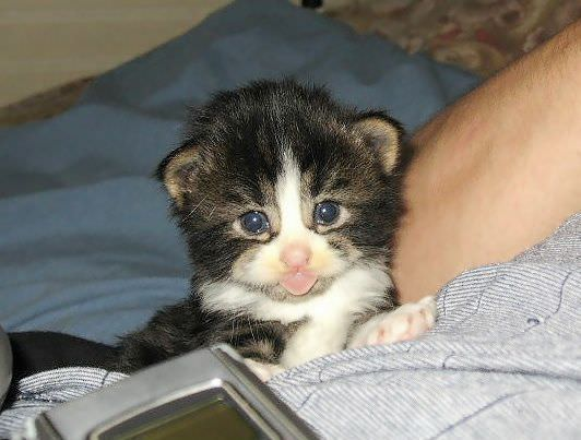 Tongue Out Kitten