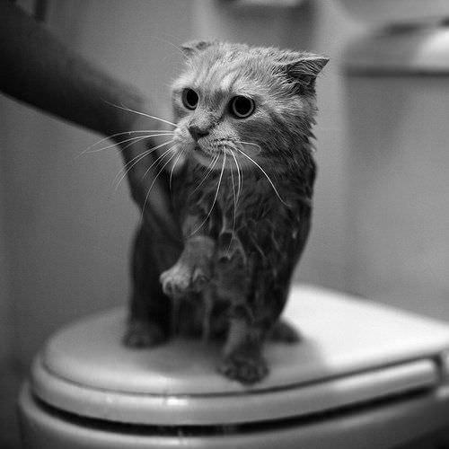 Wet Toilet Cat