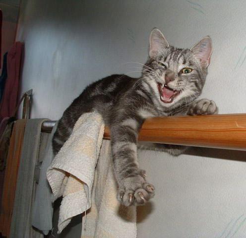 Yharr pirate cat.